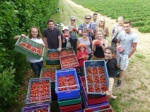 Strawberry gleaning 15