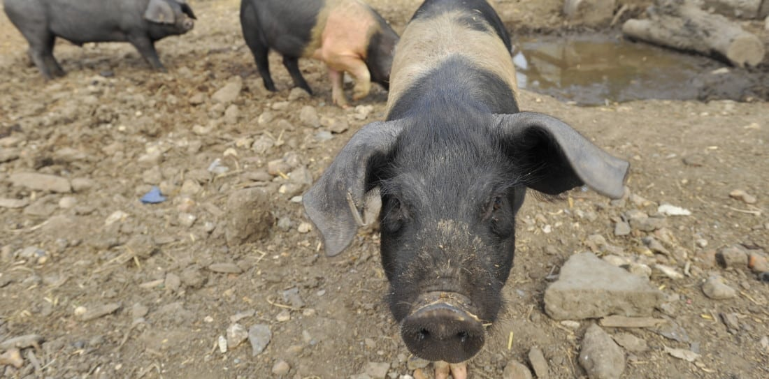 Pig Idea - Stepney City Farm