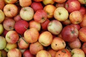 Apples saved on a farm from going to waste by The Gleaning Network
