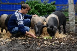 pigs-tristram