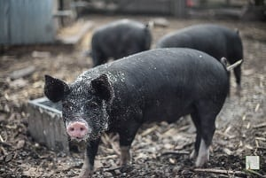 Wondering what you can feed your pigs? There's now an app for that!
