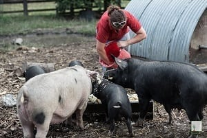 Expert panel concludes that feeding leftovers to pigs is safe
