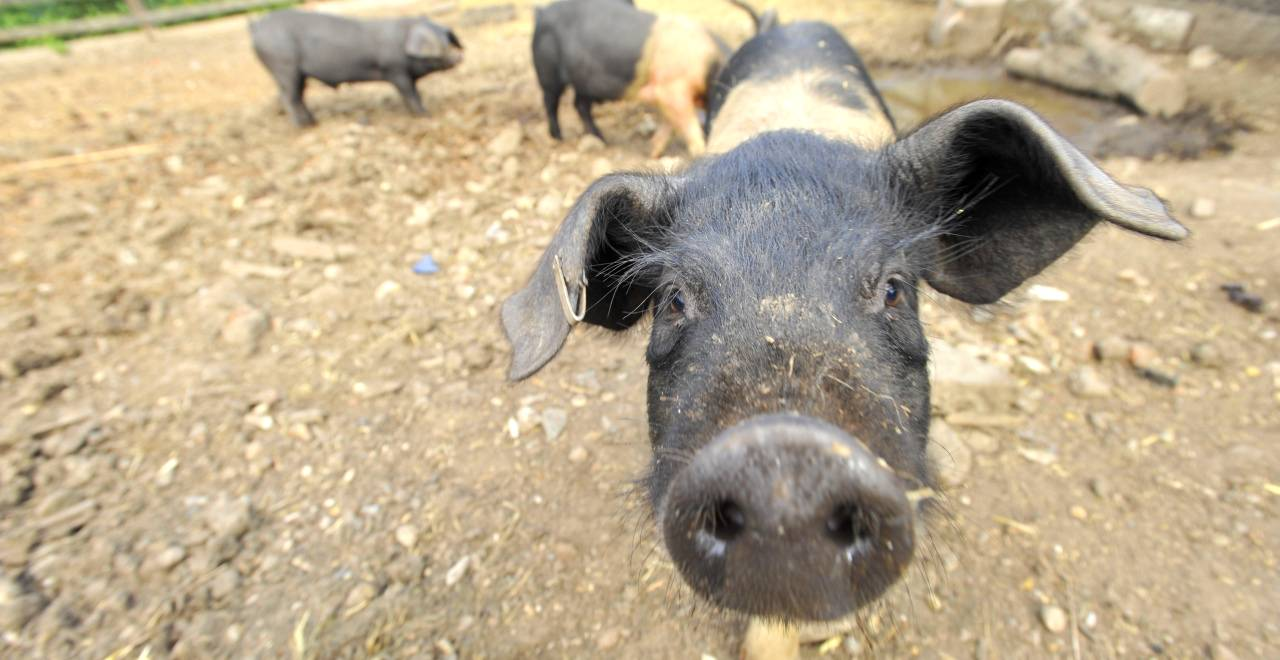 Environmental and Economic potential of surplus food as pig feed