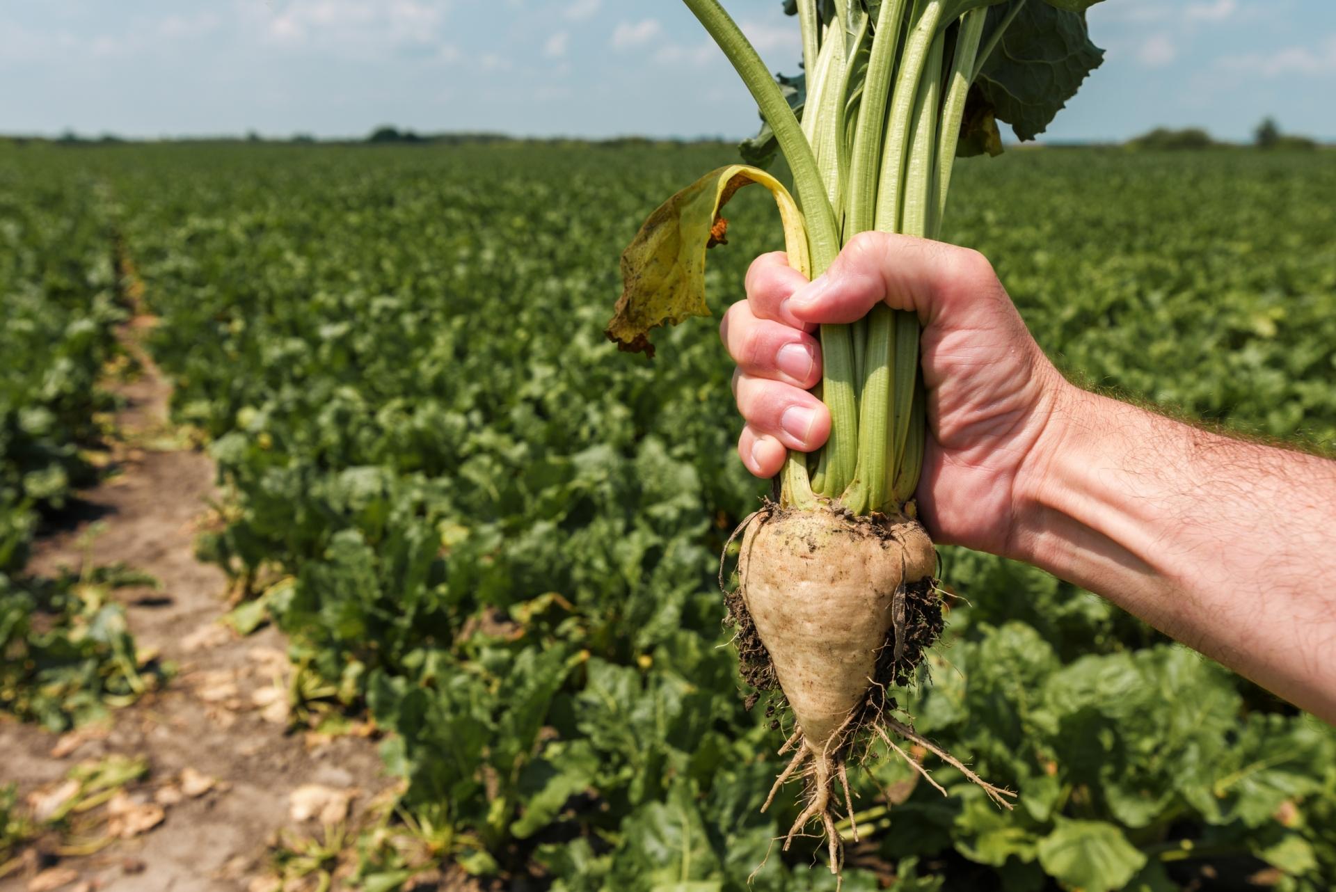 The dark truth about sugar beet